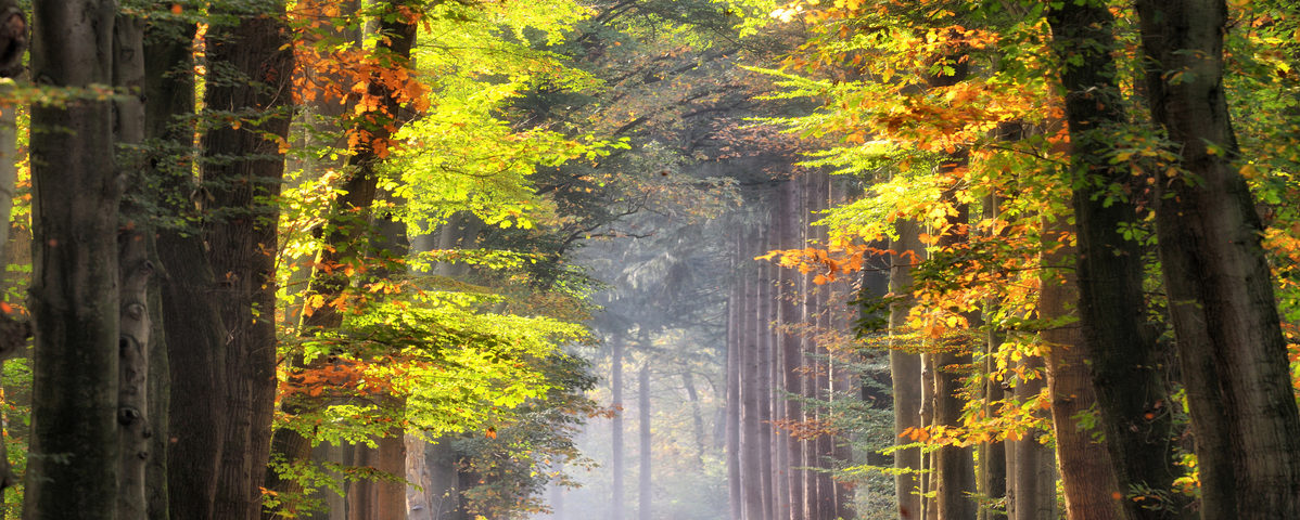 Autumn colored leaves glowing in sunlight in avenue of beech trees. Location: Gelderland, The Netherlands.